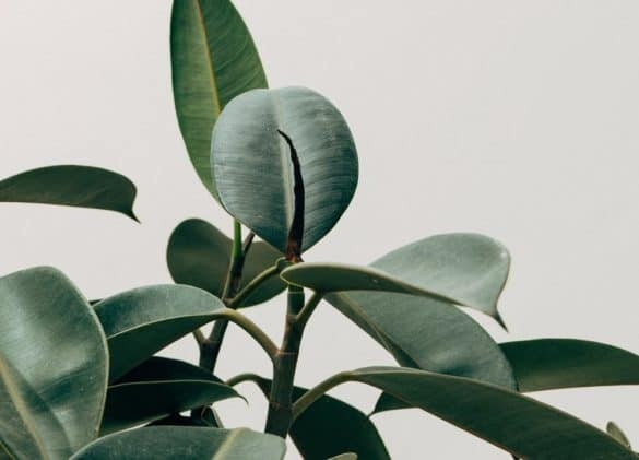 Wondering how to care for the popular rubber tree (Ficus elastica)? This caresheet contains everything you need to know! #houseplants