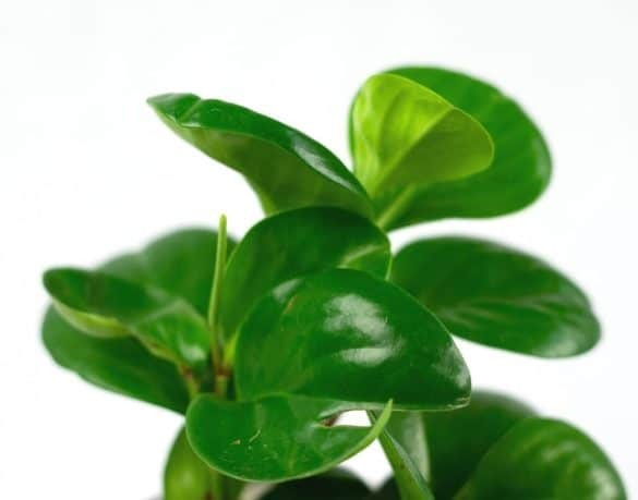 Baby rubber plant (Peperomia obtusifolia) with shiny green leaves on white background.