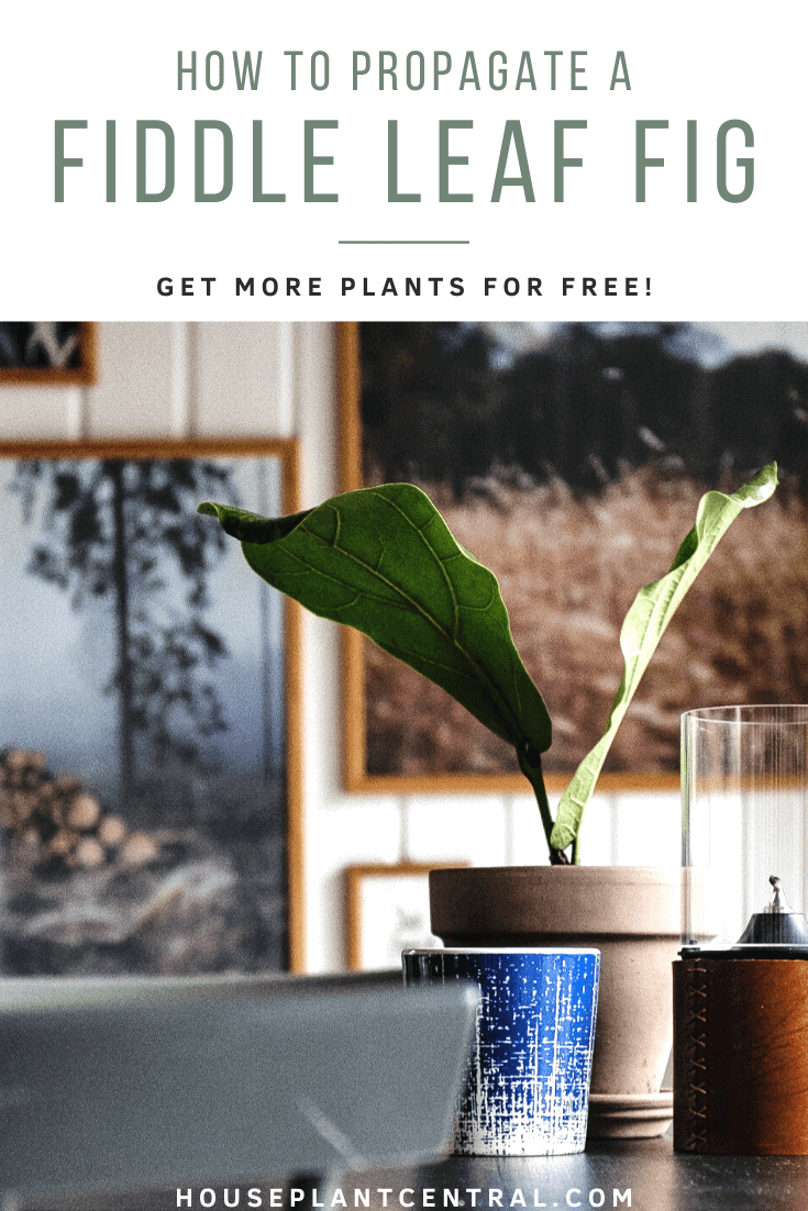 Small fiddle leaf fig houseplant among other décor items   Full fiddle leaf fig propagation guide