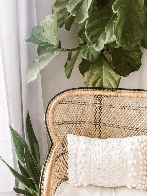 Fiddle leaf fig tree and Sansevieria houseplants as part of light interior with rattan chair.