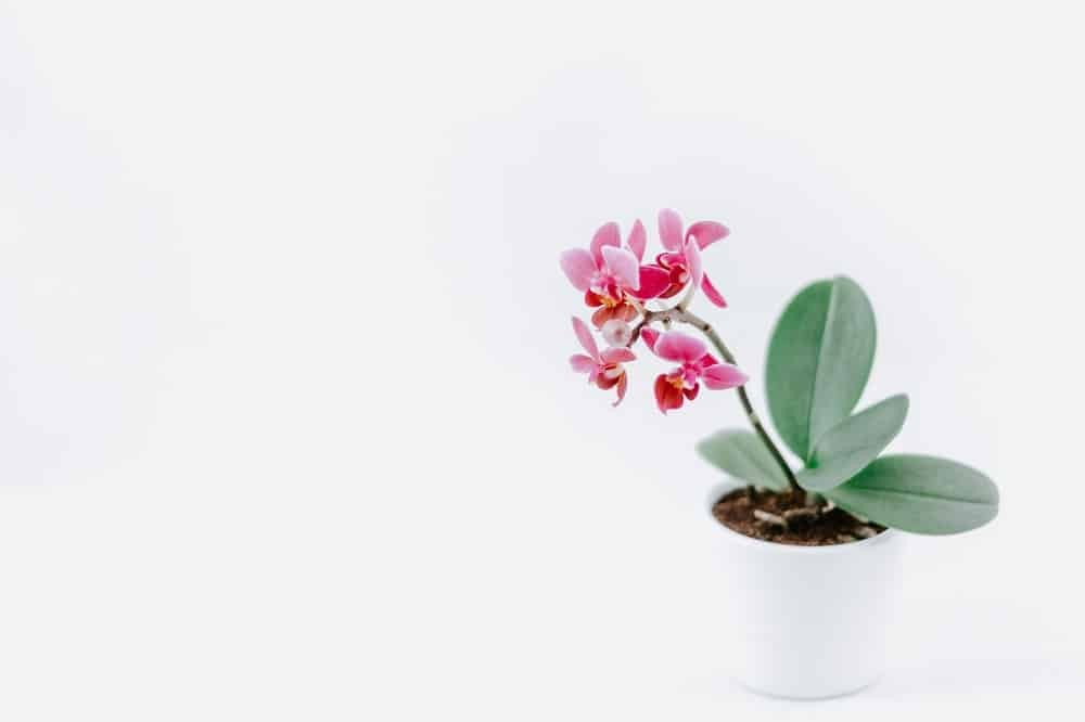 """Mini Phalaenopsis orchid with pink flowers on a white background. 
