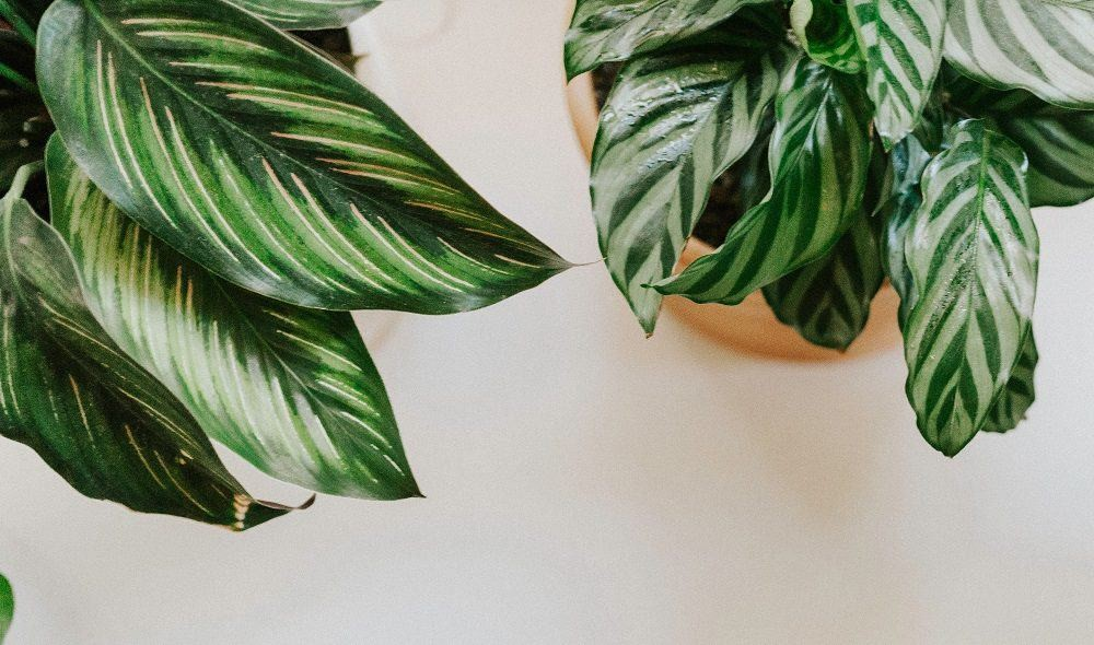 Top view of two kinds of Calathea houseplants on white surface | Calathea care & troubleshooting guide