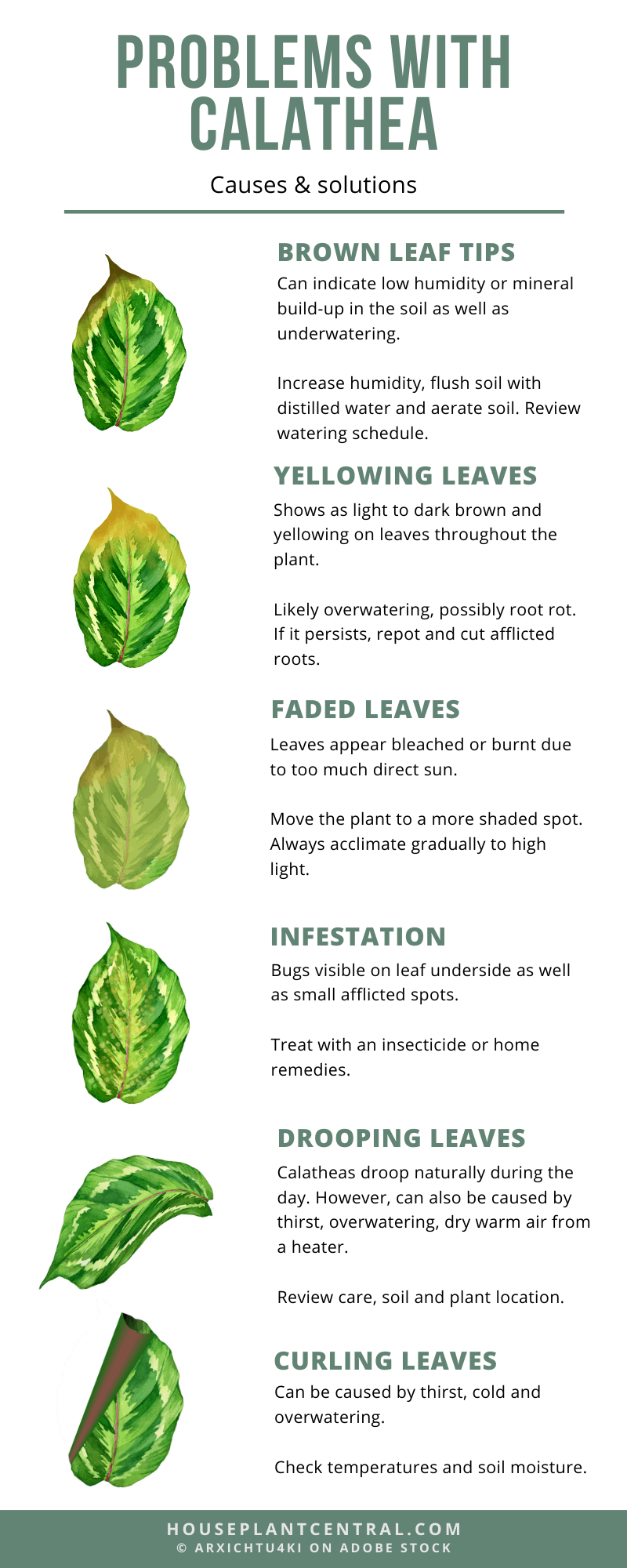 Problems With Calathea Yellow Leaves Curling Drooping And More Houseplant Central