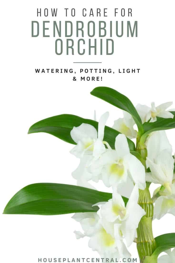 Dendrobium orchid cane with white flowers on white background | Full Dendrobium care guide