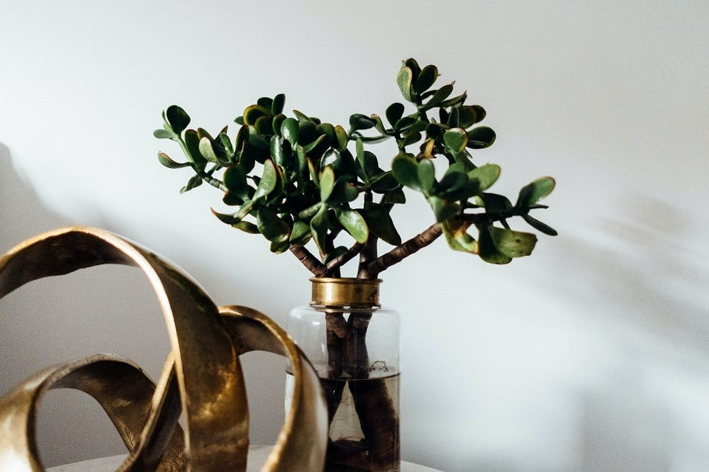 Jade plant stem cuttings in a vase of water on white wall background.