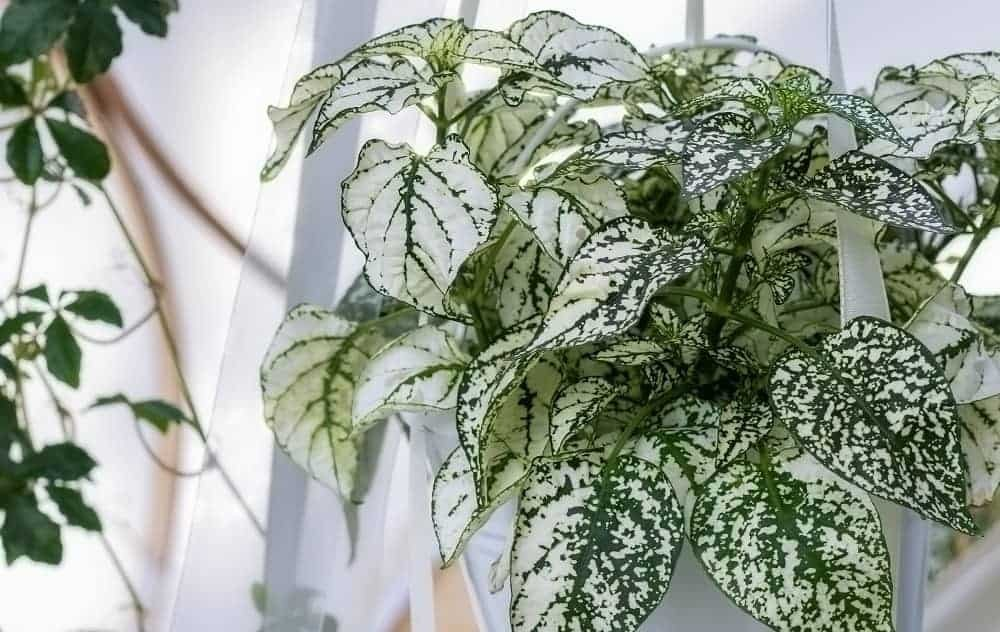 Silver and green polka dot plant (Hypoestes) in hanging planter.