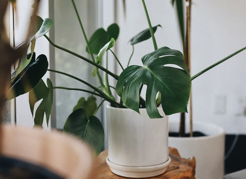 Monstera houseplant in white planter among other houseplants | 12 common problems with Monstera