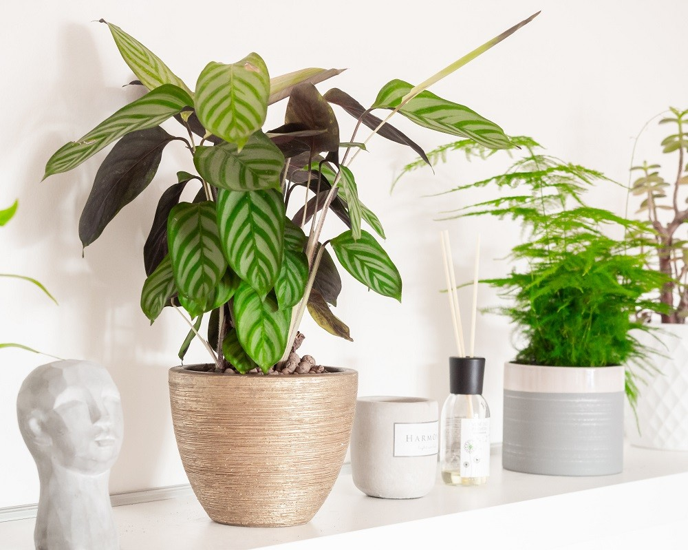 Prayer plant houseplant from the genus Calathea on shelf among other items and houseplant.