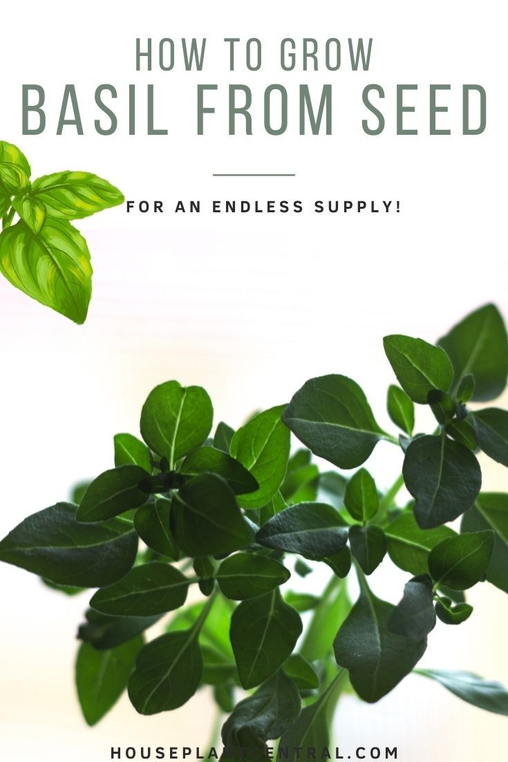 Basil seedling | Full guide on how to plant basil from seed
