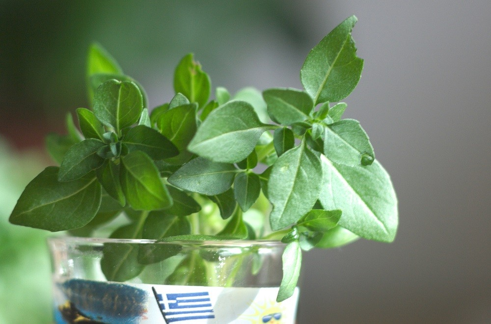 Close-up of small-leaf basil cutting in shot glass   All about propagating basil