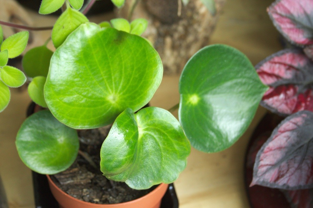 Leaves of Peperomia polybotrya, a houseplant also known as raindrop Peperomia.
